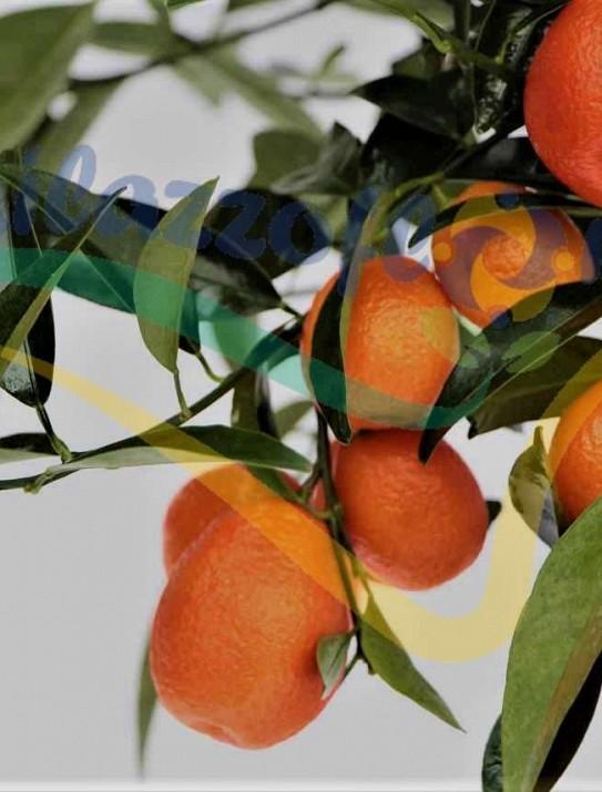 Citrus Kucle