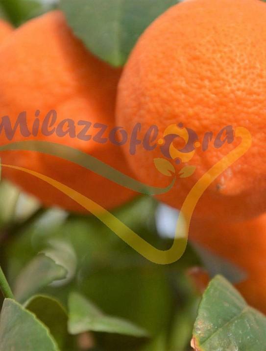 Citrus Lima Rossa