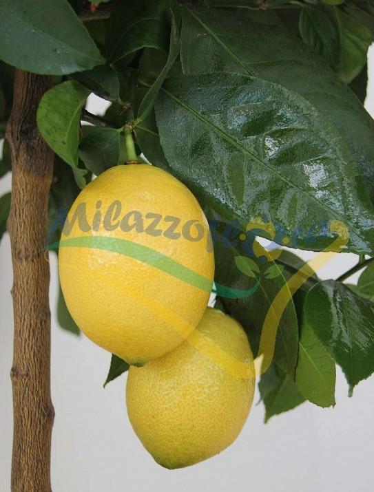 Citrus lemox