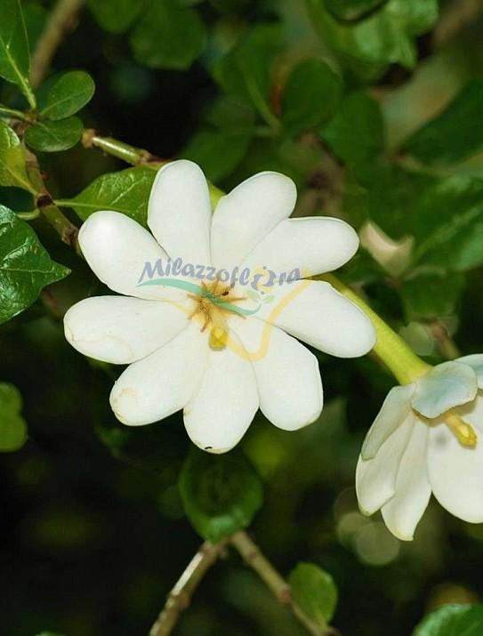 """""""Thunberg's gardenia"""""""