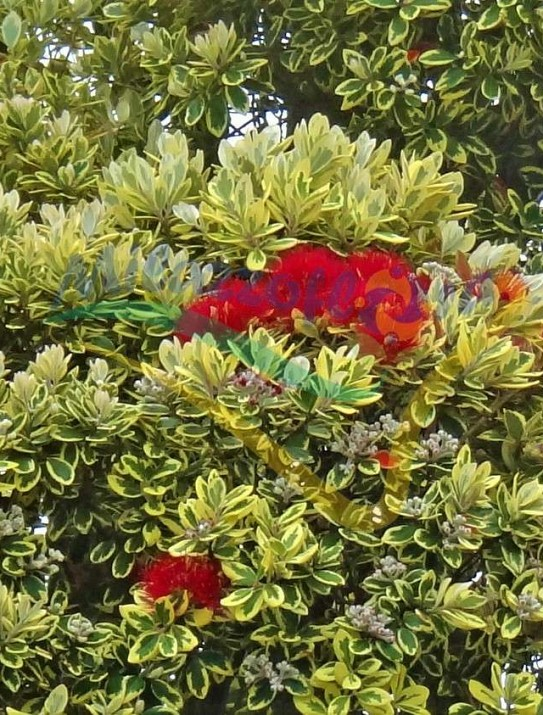 Varieged New Zealand Christmas Bush