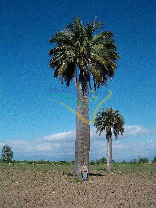 Jubaea chilensis esemplare