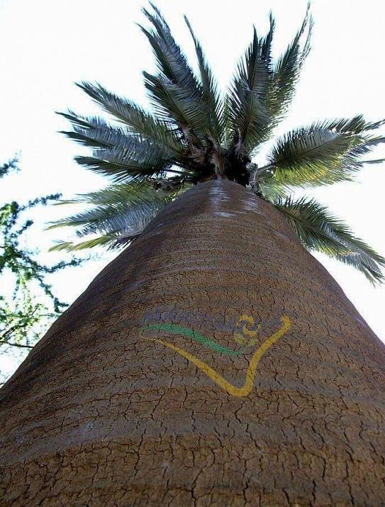 Palmier du Chili