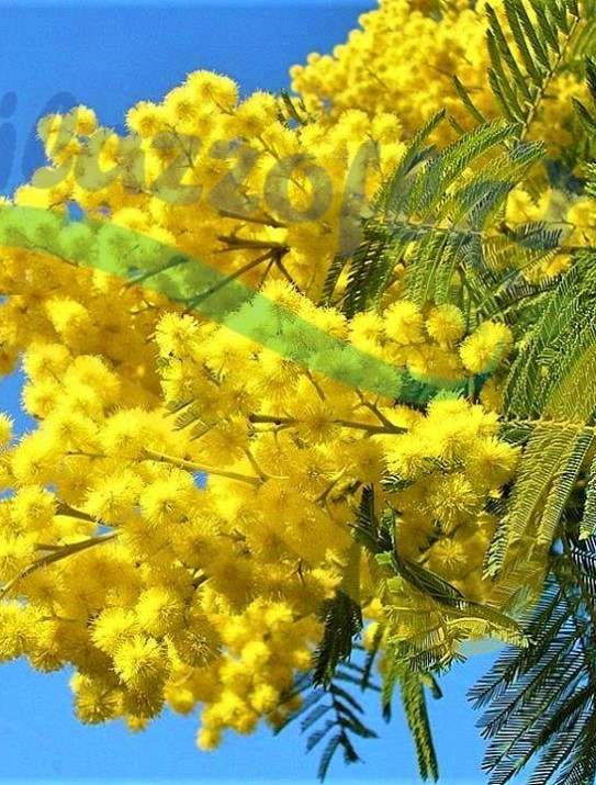 """""""Mimosa d'hiver"""""""