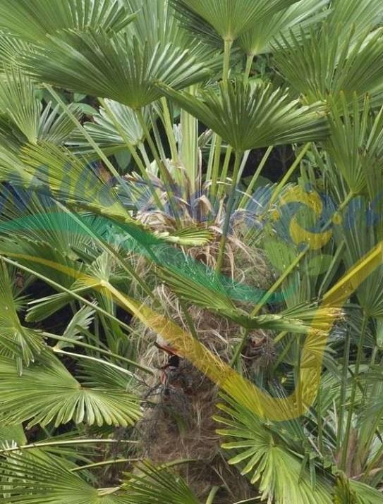 Le palmier miniature de Chusan