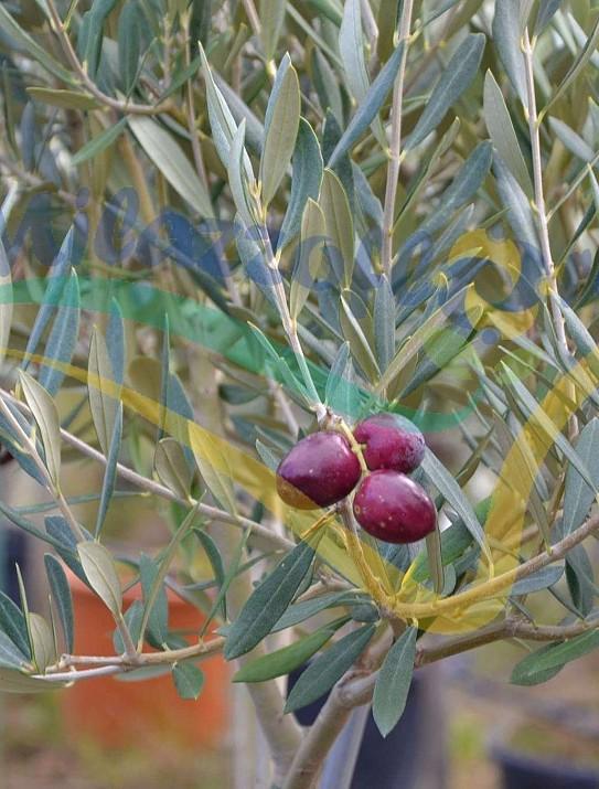 Particolare del frutto maturo