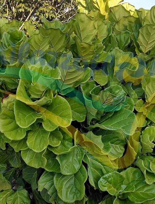 Figuier à feuilles de violon