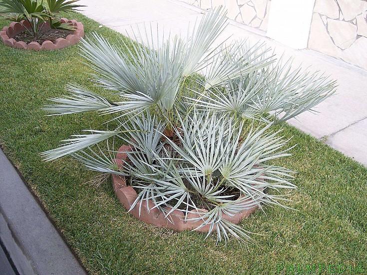 Chamaerops humilis subsp. cerifera (=alba)