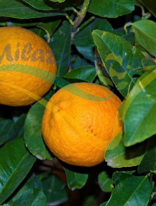 Citrus x volkameriana