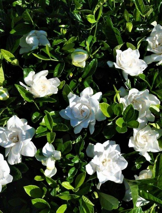 Gardenia multiflora