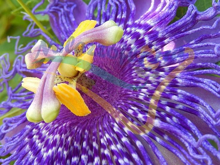 Passiflora vrs