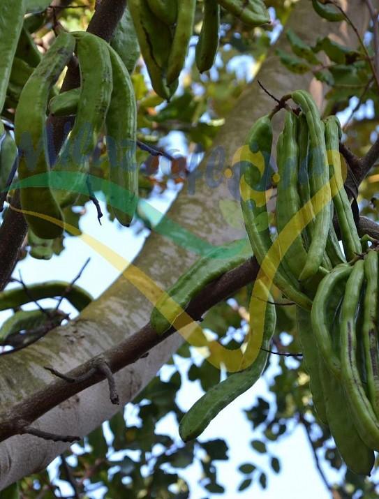 Ceratonia siliqua (Carrubbo)
