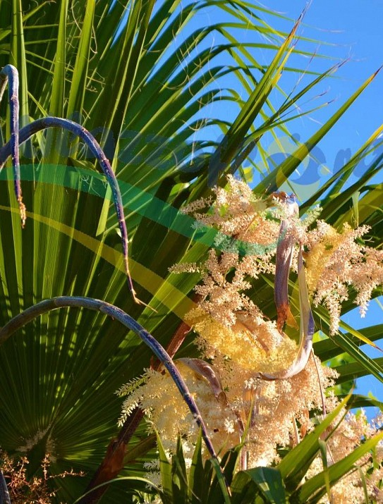 Palmier de Californie