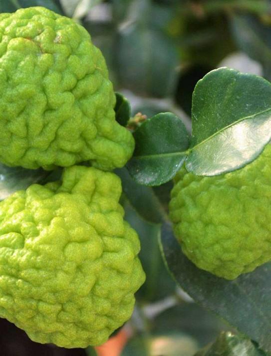 The kaffir lime