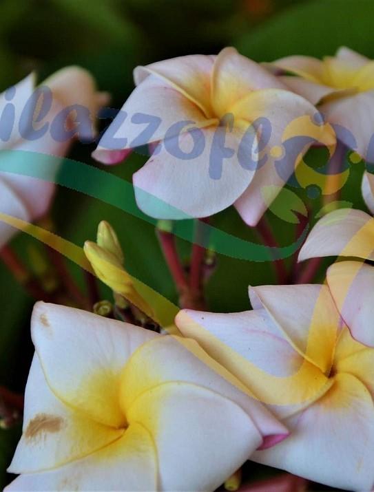 Plumeria rubra