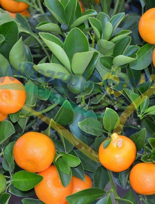 Las planta de naranjo miniatura