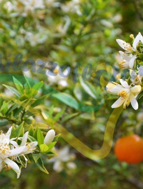 The myrtle-leaved orange tree
