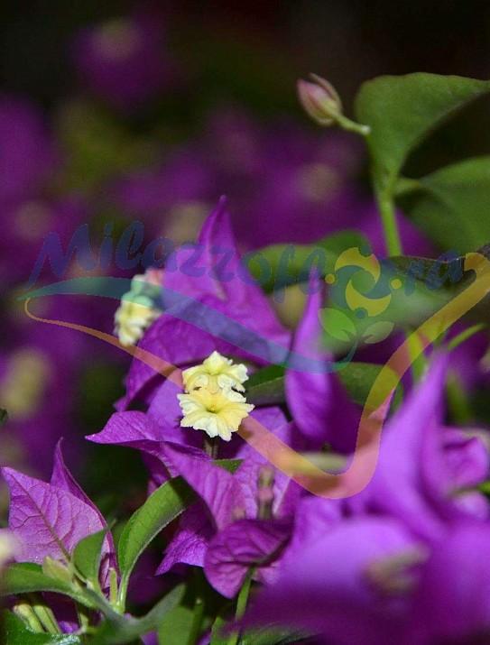 Bouganvillea sanderiana fiore