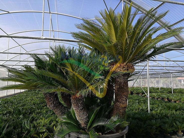 Cycas revoluta esemplare