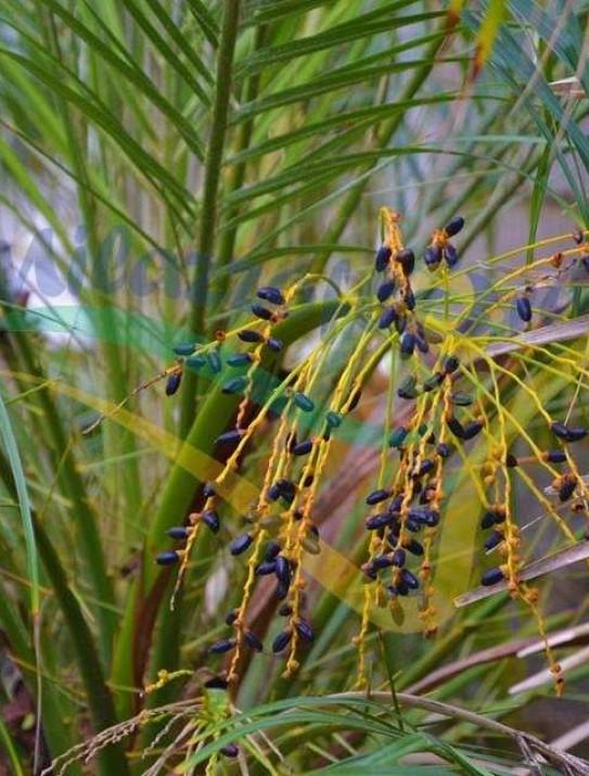 Palmier dattier miniature
