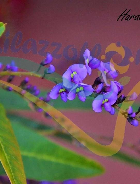 Purple Coral Pea