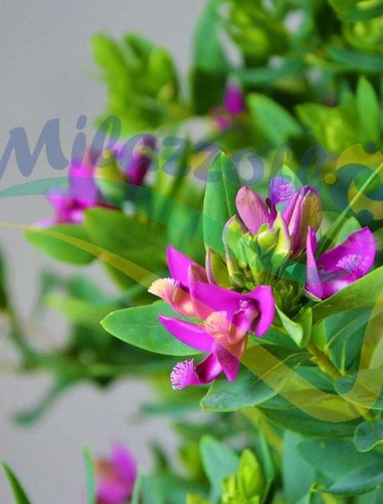 Myrtle-leaf milkwort