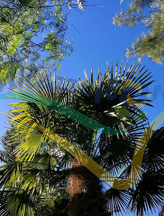 Palmier de Chusan