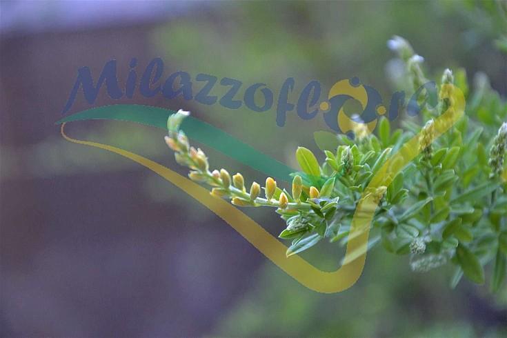 Fiore in boccio: viraggio colore