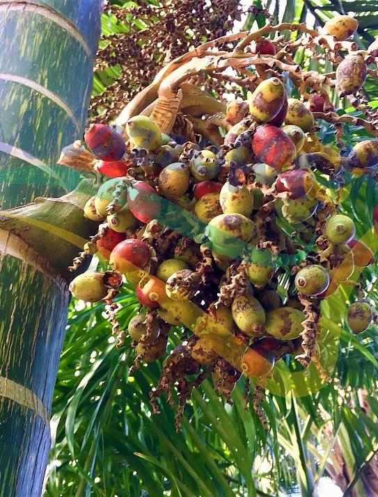 Palmier de Nouvelle Calédonie