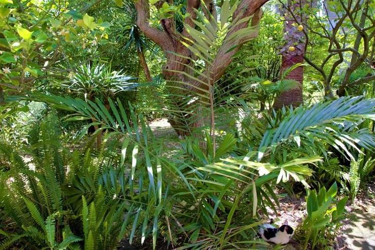 Arenga acclimatata in giardino in Sicilia