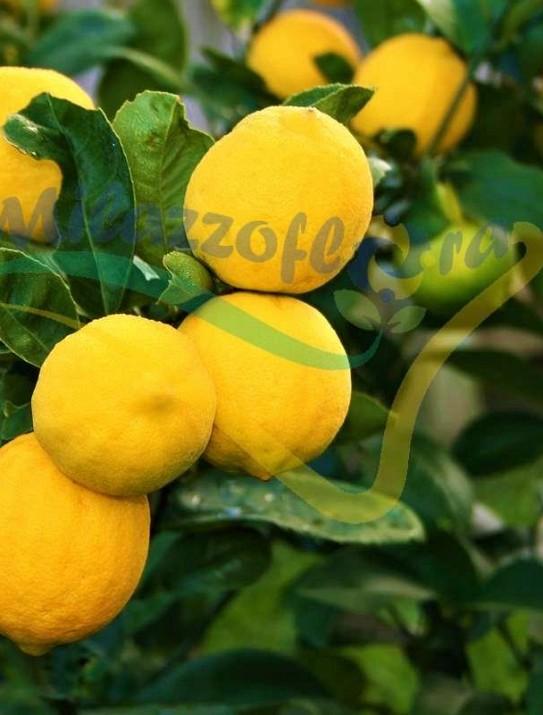 Les Citronnier