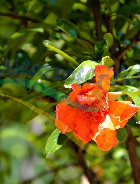 Granada fruit