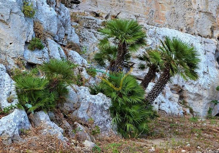 Chamaerops humilis in natura
