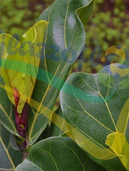 Ficus lyrata (fiddle-leaf fig)