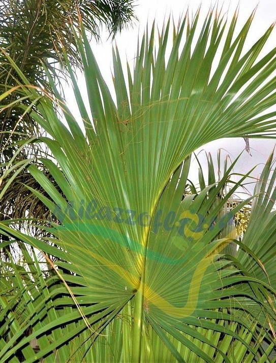 Chou palmiste