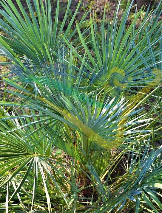 Palmier nain bleu