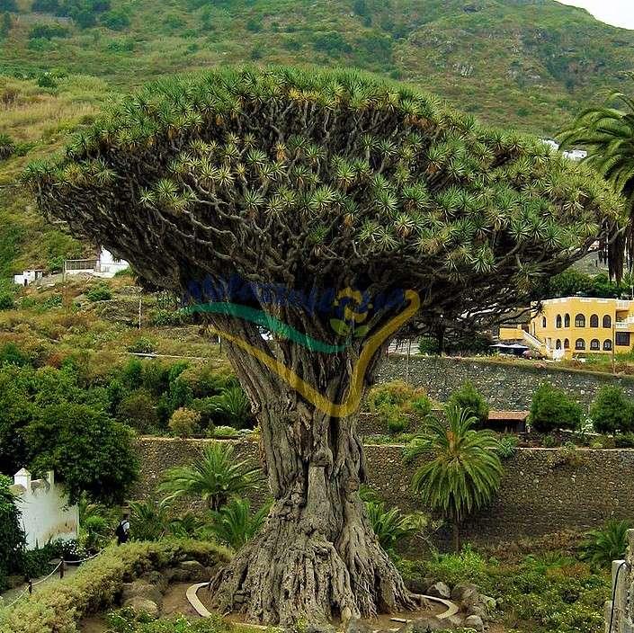 Esemplare millenario a Tenerife