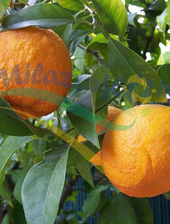 El naranjo amargo