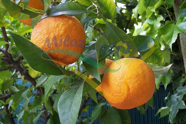 Particolare del frutto