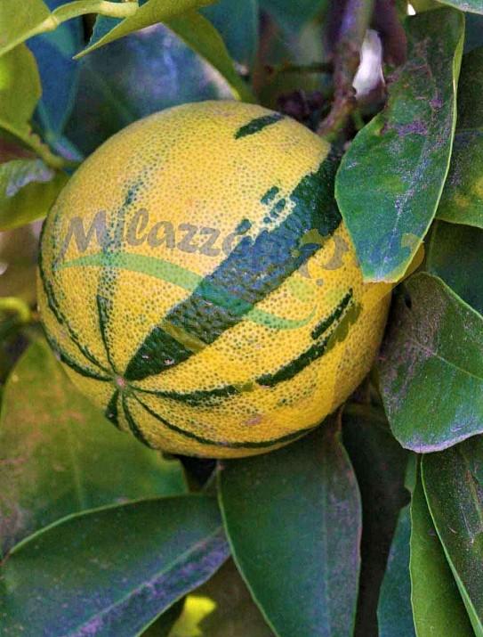 La naranja variegada