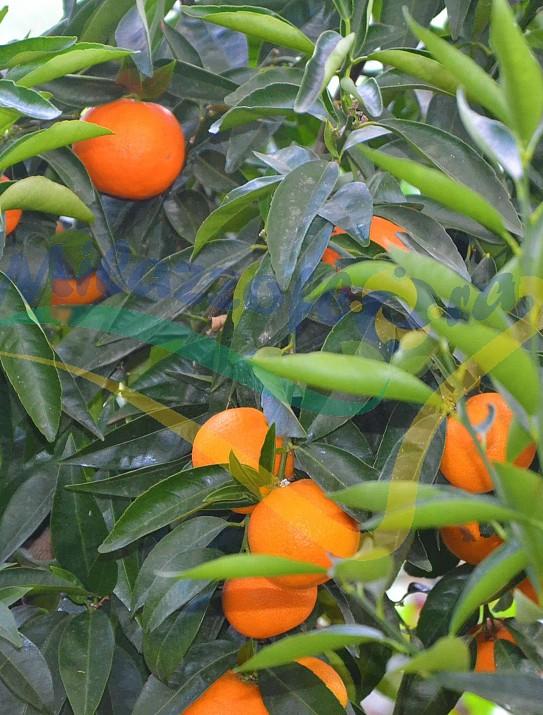 Citrus Arancio