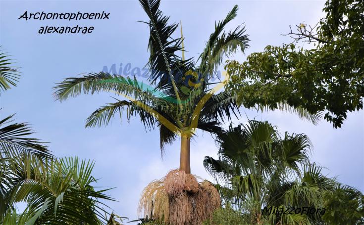 Archontophoenix