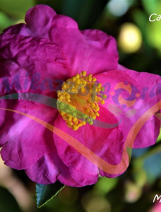 Le camellia d'automne