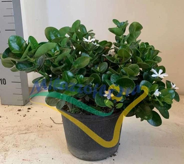 Bush Pot 18