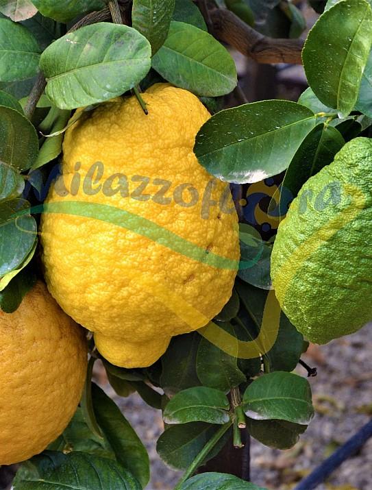 Citrus Cedro