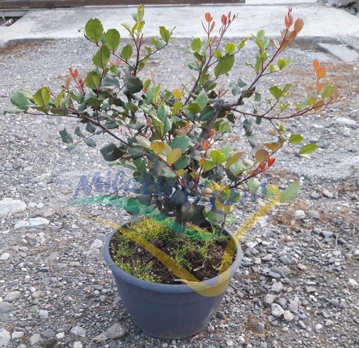 Bush Pot 30