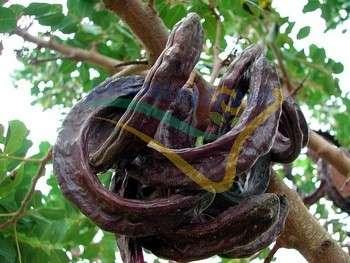 Frutto maturo (siliqua)