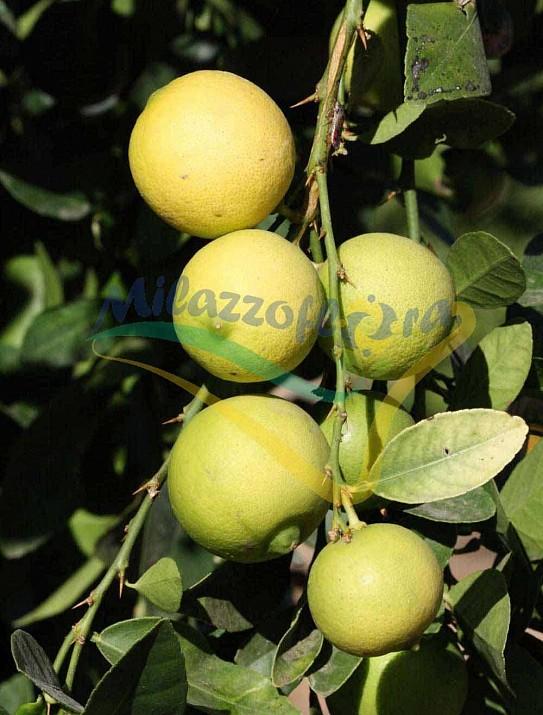 Citrus Chulo Key lime
