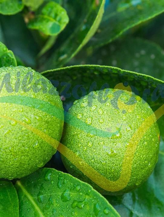 The bergamot orange