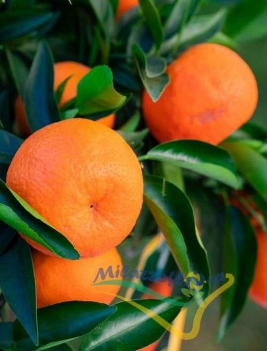 Citrus Clementino